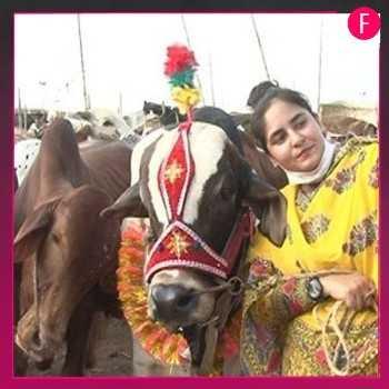 Ayesha Ghani _- cattle