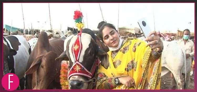 Ayesha Ghani - cattle