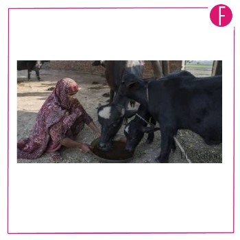 Livestock rural - cattle